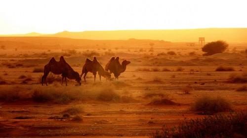 chameaux.jpg